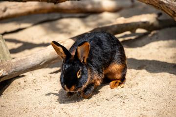 Full body of black-brown domestic pygmy rabbit