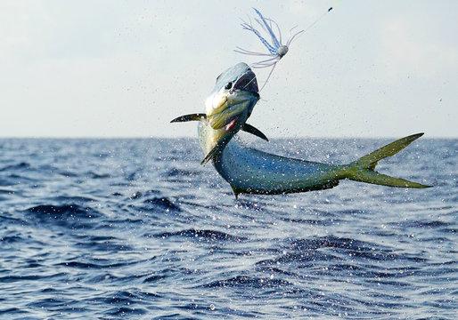 Big jump form a mahi mahi, sportfishing in Costa Rica