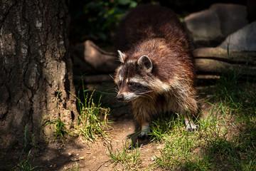 Portrait of adult female common raccoon