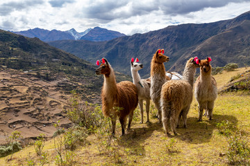 Fotorolgordijn Lama Llamas on the trekking route from Lares in the Andes.