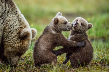 Fototapeta She-bear and playfull bear cubs. Bear Cubs stands on its hind legs. Cubs and Adult female of Brown Bear  in the forest at summer time at sunset. Scientific name: Ursus arctos. obraz