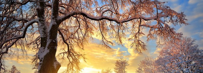 Snow-covered winter countryside at sunset. A tree close-up. Warm evening sunlight. Latvia