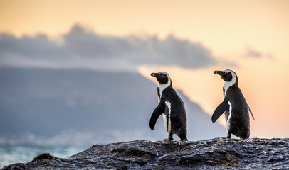 The African penguins on the stony shore in twilight evening with sunset sky. Scientific name: Spheniscus demersus, jackass penguin or black-footed penguin. Natural habitat. South Africa Fotomurales