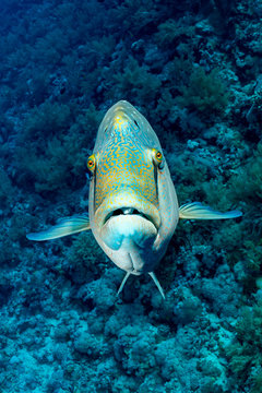 humphead wrasse or napoleon fish on a reef with a funny face