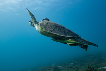 green turtle feeding on a reef in the Red Sea