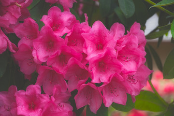 Garden Poster Pink 2019-05 14 Red Rhododendron in the Morning Fog
