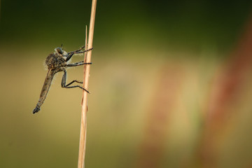 Robber fly, Asilus crabroniformis sitting on grass. Close portrait of rare scary insect. Summer picture of interesting insect predator in its natural environment.