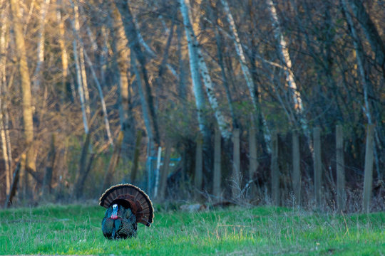 Eastern wild turkey (Meleagris gallopavo) male, tail feathers spread looking for a female