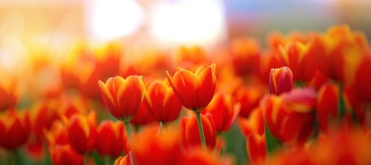Foto op Canvas Tulp field of red tulips , spring-blooming and the flowers are usually large , so beautiful in garden
