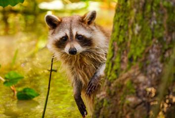 rare blonde raccoon in swamp. Wall mural