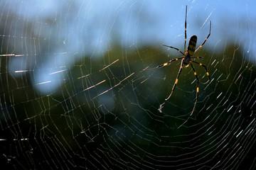 クモ 蜘蛛 蜘蛛の巣