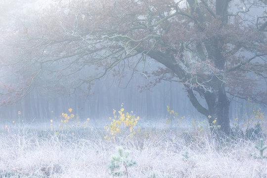 yellow birch trees under big oak of foggy frosty morning