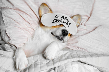 Cute Corgi Sleeps On The Bed With Eye Mask. Live with schedule, time to wake up.