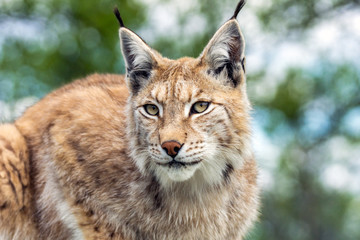 Closeup and detailed animal wildlife portrait of a beautiful eurasian lynx (lynx lynx, felis lynx), outdoors in the wilderness. Eye contact and close encounter, details of tufts and face.