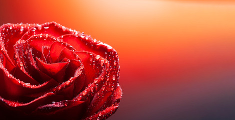 rose flower with water drop on red background