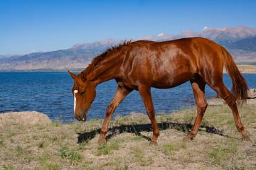 Horse near mountain lake. Issikul. Kyrghyzstan.