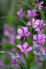 Chamaenerion Blooming Pink Flowers Of The Willowherb, Angustifolium Known As Fireweed,