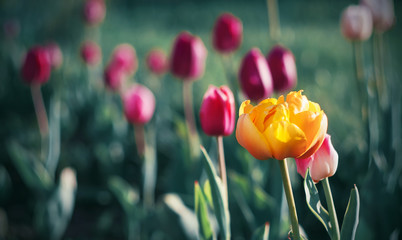 Foto op Canvas Tulp Bright yellow large Tulip blooms among a field of red tulips, illuminated by sunlight in the spring.
