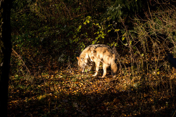 Wild wolf roams through the forest
