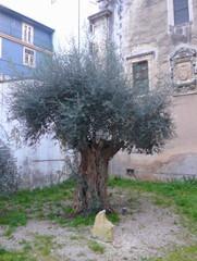 Olive tree, olive, old, gnarled, tree, branches, twig, leaves, green, medieval, city, portugal, coimbra, garden, travel, backyard, old, people, village, celebrity, building, olive tree, church, chris