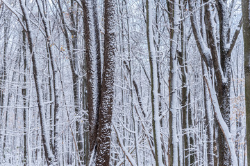 Fresh snowfall on trees in forest