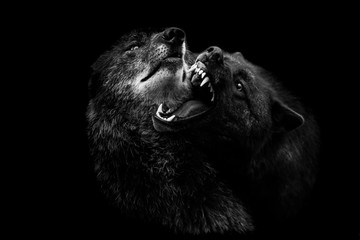 Black wolf with a black background Wall mural