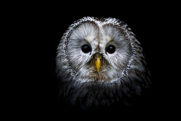 Foto op Canvas Uil Ural owl with a black background