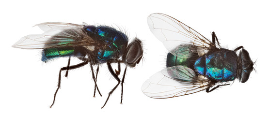 blue and green fly two views on white Fotomurales