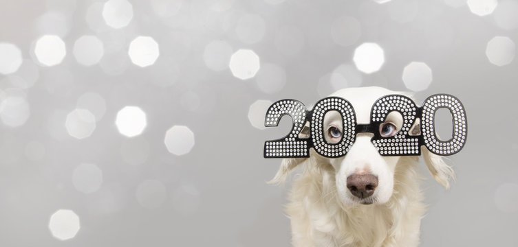 dog looks a goat celebrating chinese new year 2020. wearing text glasses. isolated on gray lights background.