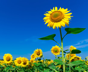 Wall Mural - Sunflower field with cloudy blue sky