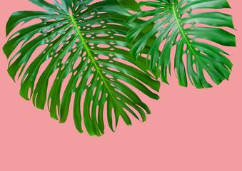 feuilles géantes de philodendron monstera sur fond rose