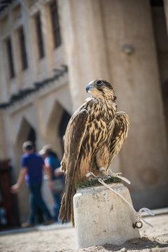 Arab falcon