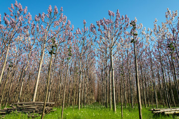 Plantation of blossoming Paulownia trees in the spring - low angle view