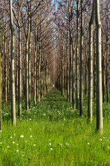 Plantation of blossoming Paulownia trees in the spring - vertical
