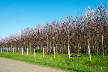 Plantation of blossoming Paulownia trees in the spring - selective focus