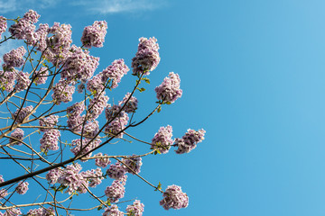Blossoming Paulownia trees in the spring - view towards the sky