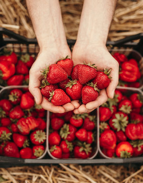 Tasty juicy strawberry in hands of gardener above box with harvest