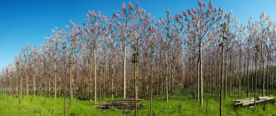Plantation of blossoming Paulownia trees in the spring - panoramic view