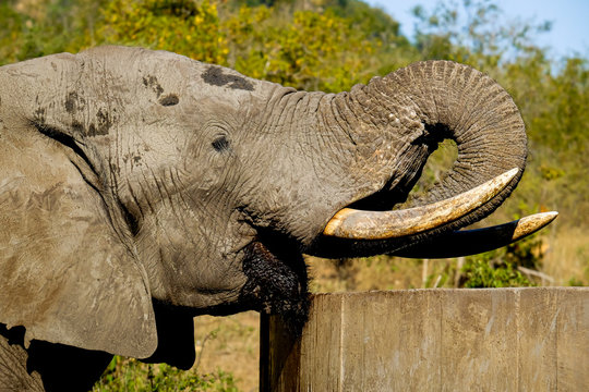 Close-up of One male African Elephant bull drinking water