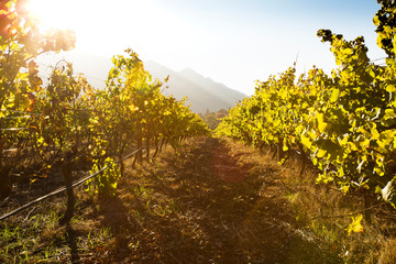 Sunset over vineyard in autumn, Constantia, South Africa