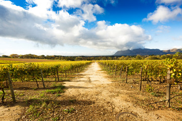Path through vineyards in Constantia, South Africa