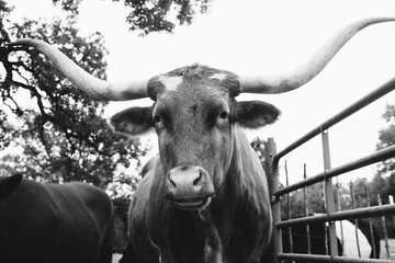 Wall Mural - Rustic Texas Longhorn cow portrait looking at camera close up in black and white.