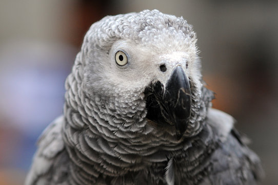 Portrait of an African Grey Parrot, Indonesia