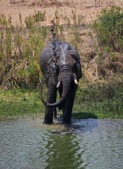 African elephant (Loxodonta) standing in river spouting mud water from trunk, mud-showering in Africa