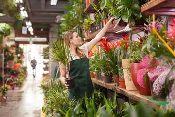 Fototapeta Portrait of skilled woman florist arranging flowers in pots at flower shop obraz