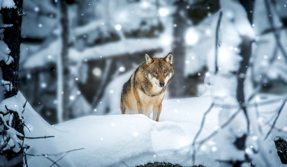 Deurstickers Wolf A lone Timber wolf or Grey Wolf Canis lupus walking in the falling winter snow