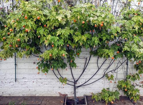 Abutilon (Abutilon pictum) Thompsonii tree