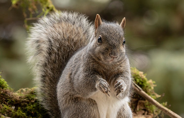 Eastern gray squirrel, known as the grey squirrel is native animal to eastern North America
