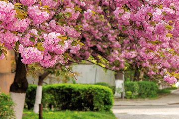 cherry blossom on the streets of uzhgorod. beautiful springtime nature background. close up of blooming twigs of sakura trees. wonderful color combination of pink flowers and green foliage