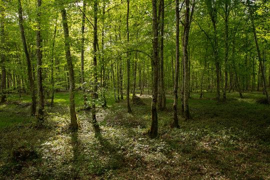 sous-bois de forêt normande
